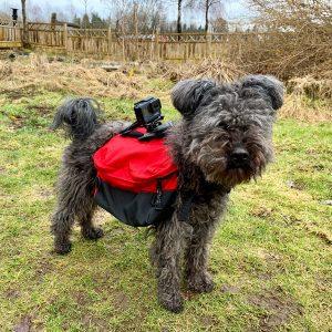 Hund med kamera fastsatt på klövjeväska.